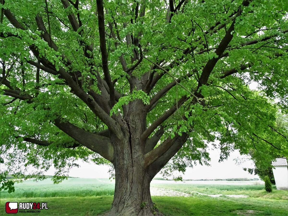 Wybierzcie już 11. z kolei Europejskie Drzewo Roku - lipa św. Jana Nepomucena z Dulczy Wielkiej