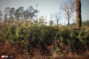 Choinki prosto z lasu. Naturalne Święta!