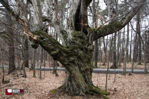 Grab z Jankowic w konkursie Drzewo Roku 2019